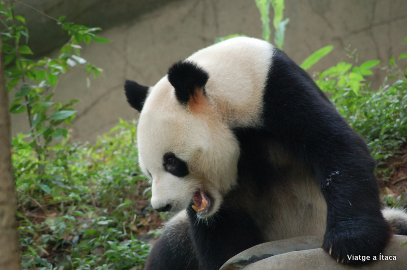 Chengdu_Panda