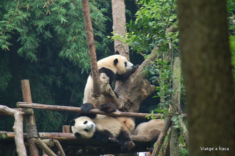 Chengdu_Panda2
