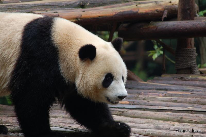 Chengdu_Panda3
