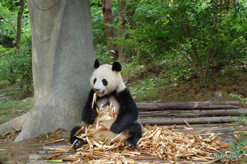 Chengdu_Panda4