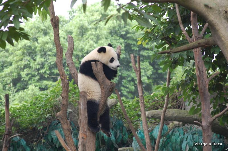 Chengdu_Panda5