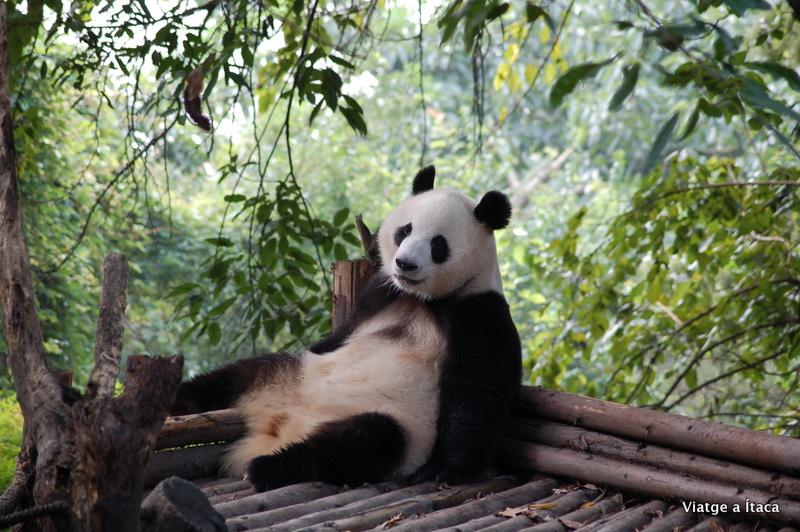 Chengdu_Panda8
