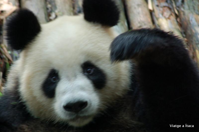 Chengdu_Panda9