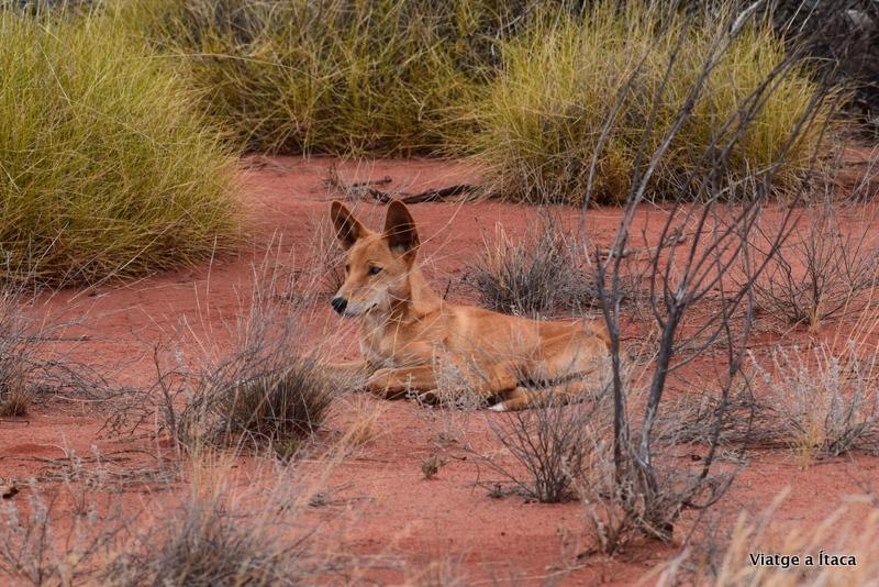 Dingo2
