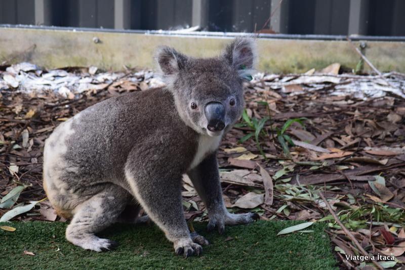 KoalaHospital6